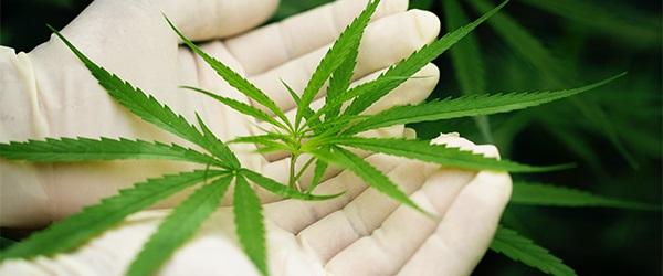 cannabis distribuidor Antioquia...
